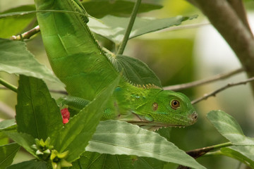 Young green iguana blending in.