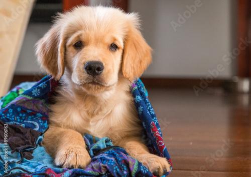 Lindo Filhote De Cachorro Filhote De Golden Stock Photo And