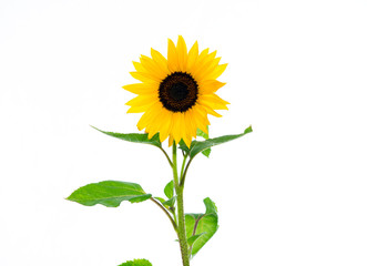 sunflower in front of white background