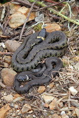 British grass snakes basking in a sunny, sheltered position.