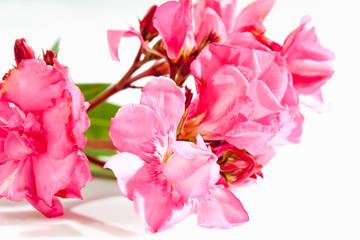 Oleander (Nerium oleander), rosa Blüten, closeup, weisser Unter