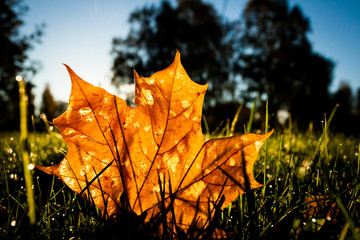 Maple leaf on grass illumited by sunrise light