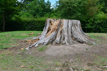 A tree that has been cut down leaving only the tree stump