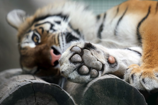 Amur tiger put his paw on vacation