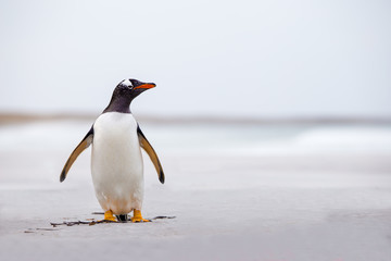 Gentoo Penguin (Pygoscelis papua) standing alone on a white sand