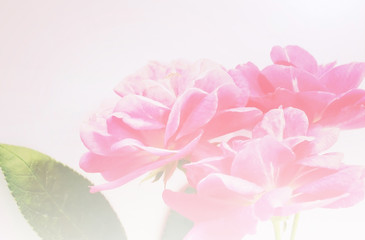 sweet pink rose in vintage color style background