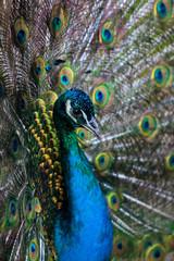 Head peacock closeup