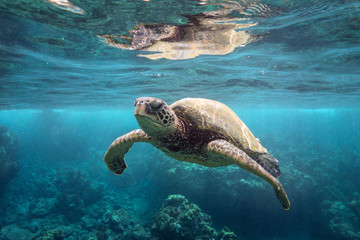 Foto op Plexiglas Schildpad Green Sea Turtle at Surface