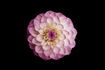 Flower, isolated black background, dahlia, white, yellow, pink, lilac