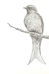 Ashy Drongo bird drawing