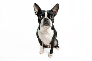 Boston terrier dog sitting