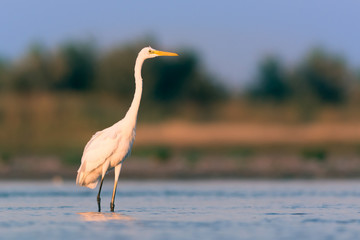 Great egret in the morning light