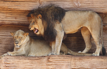 Male African Lion Growling at His Mate