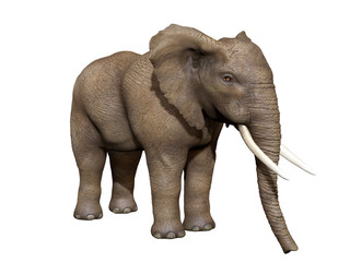 Słoń na białym tle