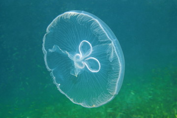 Moon jellyfish transparent underwater creature