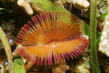 Split crown feather duster worm Anamobaea oerstedi