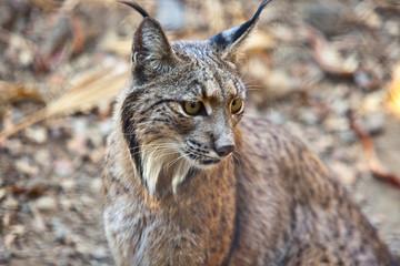 Aluminium Prints Lynx Iberian lynx portrait