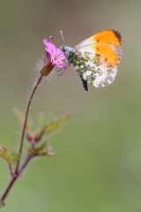 Purple wild geranium - Geranium robertianum with Orange Tip butterfly