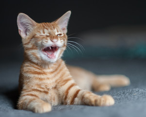 Furry Tabby kitten lying with a laughing expression.