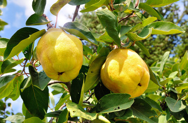 Two quinces