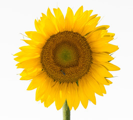Amazing sunflower with white background