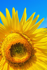 Yellow sunflower on a bright blue sky. Selective focus.