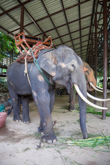 Asian elephants at Thai Elephant Conservation Center