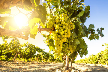 Foto op Canvas Wijngaard White wine grapes in vineyard on a sunny day