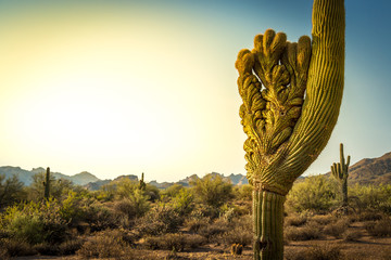 Crested Saguaro in the Arizona Desert.