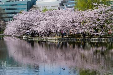 Reflection of sakura
