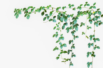 Natural green leave backdrop, wild climbing vine on white backgr Wall mural