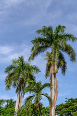 Coconut tree with blue sky.