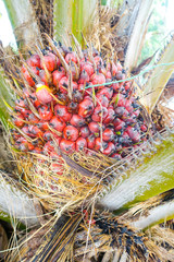 Red Areca Nut Palm on tree