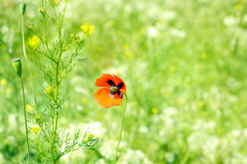 Single poppy flower on green grass background