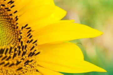 Sonneblumen