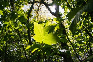 Leaf on a tree illuminated by the sun