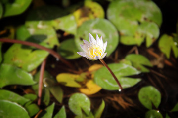 White lotus in nature