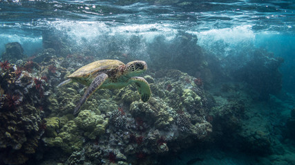 Turtle in Breaking Wave