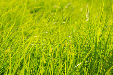 Background of a green grass.