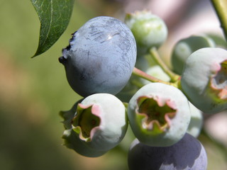 Fototapeta borówka amerykańska krzew owocowy obraz
