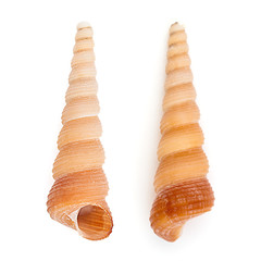 Common Tower Shell (Turritella Communis)