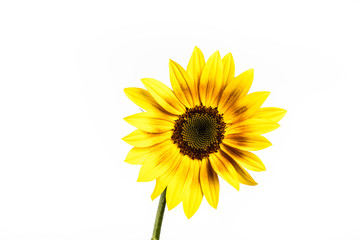 Ornament Sunflower. Sunflower isolated on white background.