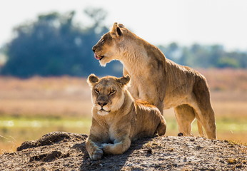 Lionesses on the hill. Botswana. An excellent illustration.