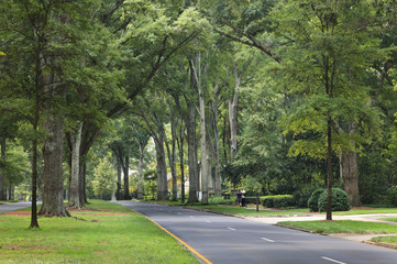Queens Road West in Myers Park in the summer with tall Willow Oaks