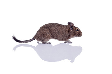 degu squirrel pet with reflection