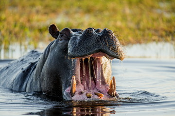 Hippo he opens his mouth. Close-up. An excellent illustration. Botswana.