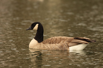 A Canadian Goose on a Colorado lake.