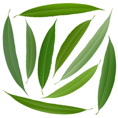 Wall Mural - green willow leaves