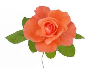 Beautiful rose closeup isolated on white background