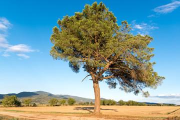 L'albero solitario nella vasta campagna di Cortona